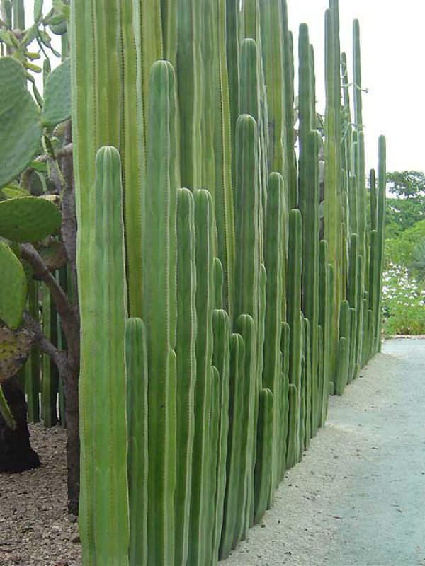 Design Tall Cacti Fence