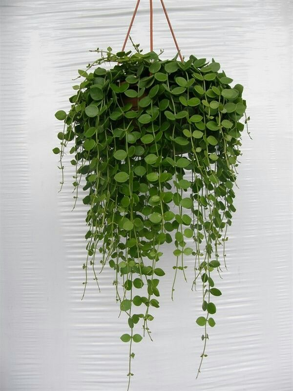 indoor hanging plants with names