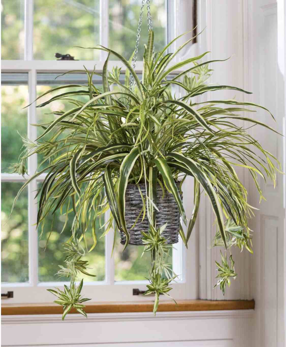 buy indoor hanging plants uk